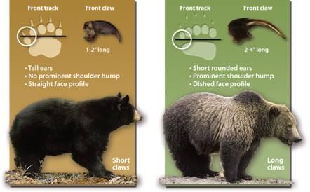 Black bear X Grizzly bear