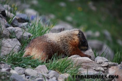 Trilha do Monte Washburn - marmota