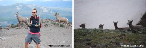 Bode da montanha - filhotes e fêmeas