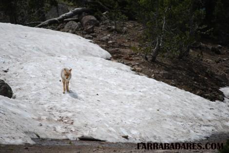 Mt. Washburn - coyote