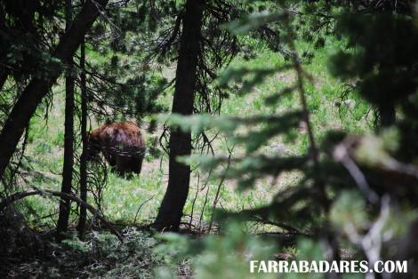 Mt. Washburn - grizzly bear