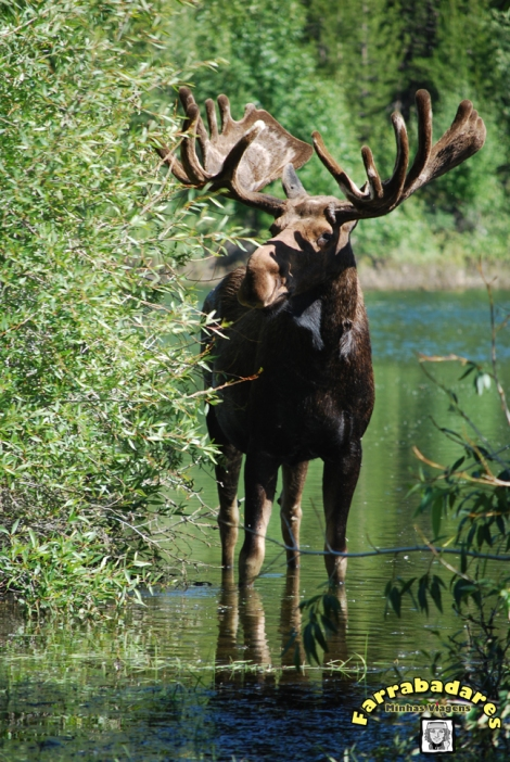 Grand Teton National Park - moose